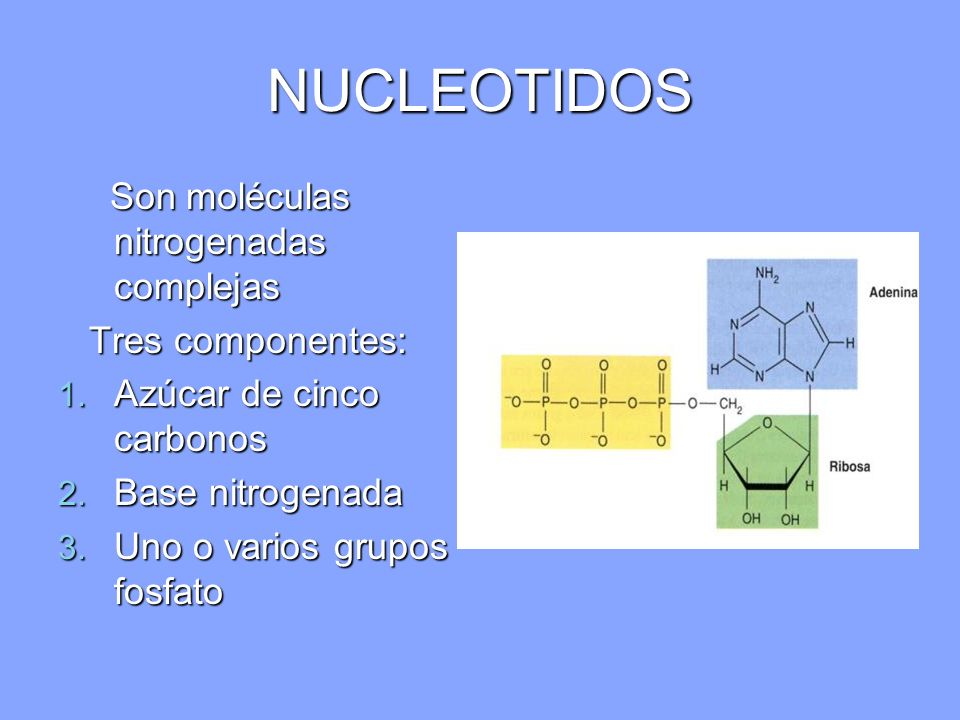 NUCLEOTIDOS Son moléculas nitrogenadas complejas Tres componentes: