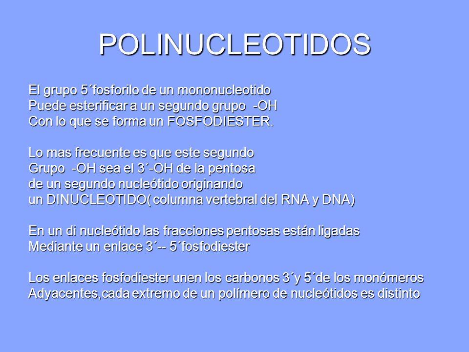 POLINUCLEOTIDOS El grupo 5´fosforilo de un mononucleotido
