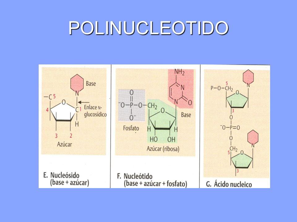 POLINUCLEOTIDO