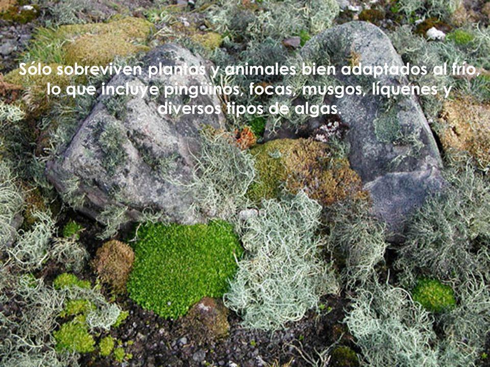 Sólo sobreviven plantas y animales bien adaptados al frío, lo que incluye pingüinos, focas, musgos, líquenes y diversos tipos de algas.