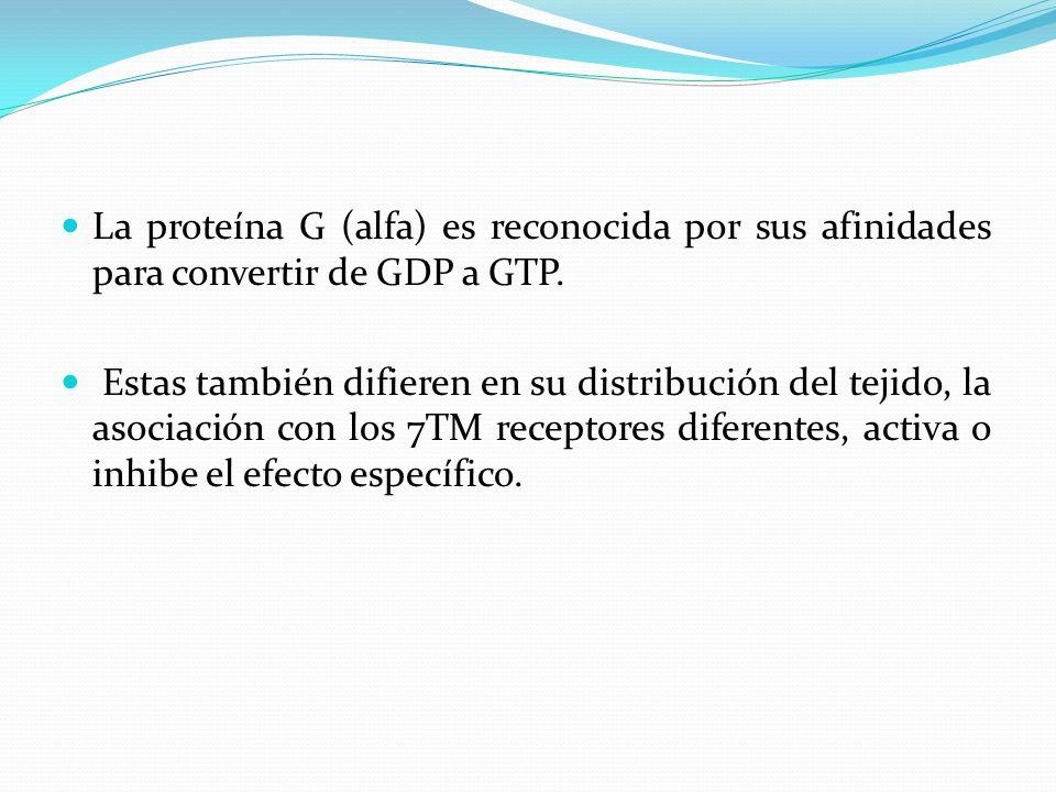 La proteína G (alfa) es reconocida por sus afinidades para convertir de GDP a GTP.