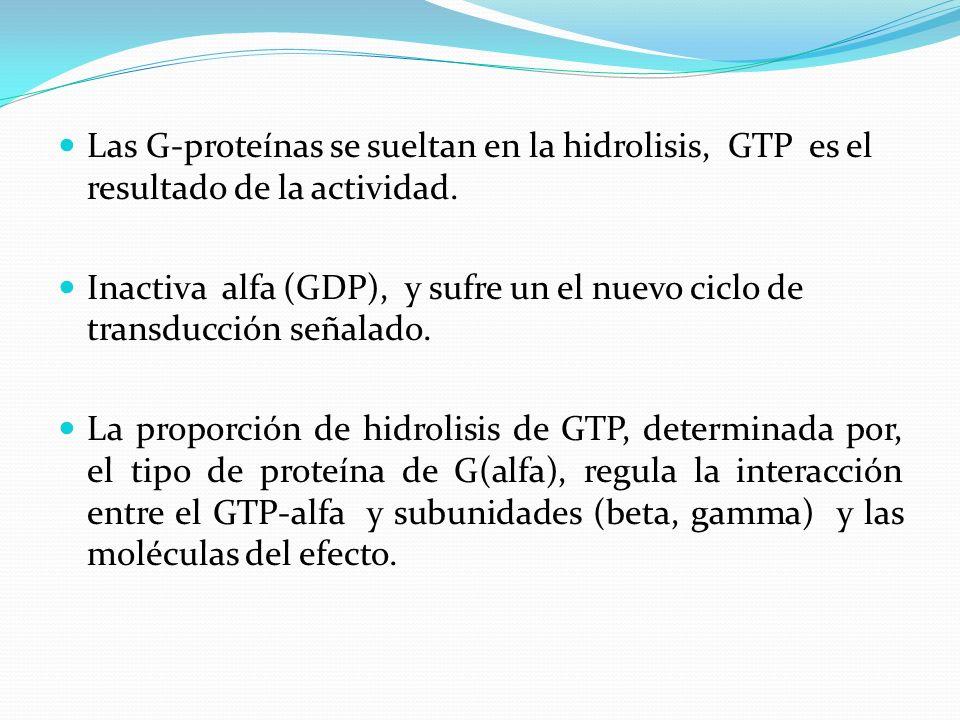 Las G-proteínas se sueltan en la hidrolisis, GTP es el resultado de la actividad.