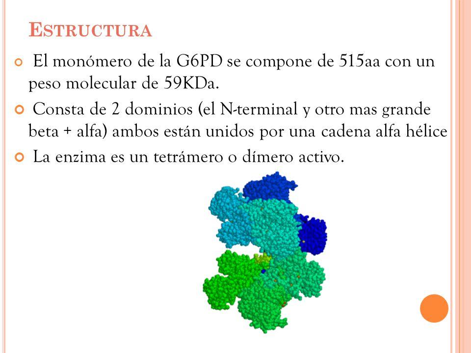Estructura El monómero de la G6PD se compone de 515aa con un peso molecular de 59KDa.