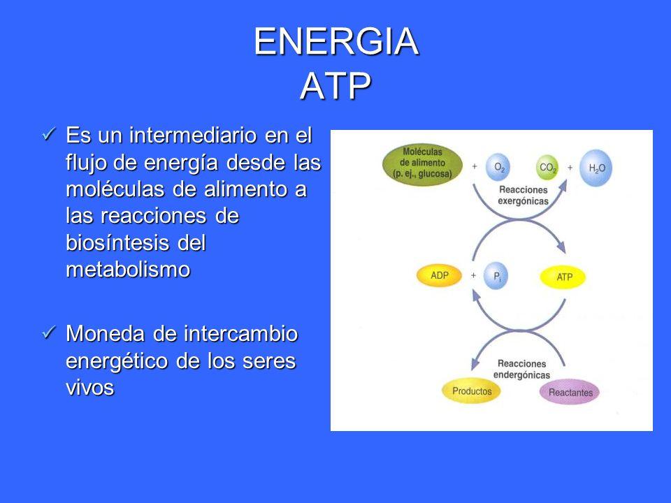 ENERGIA ATP Es un intermediario en el flujo de energía desde las moléculas de alimento a las reacciones de biosíntesis del metabolismo.