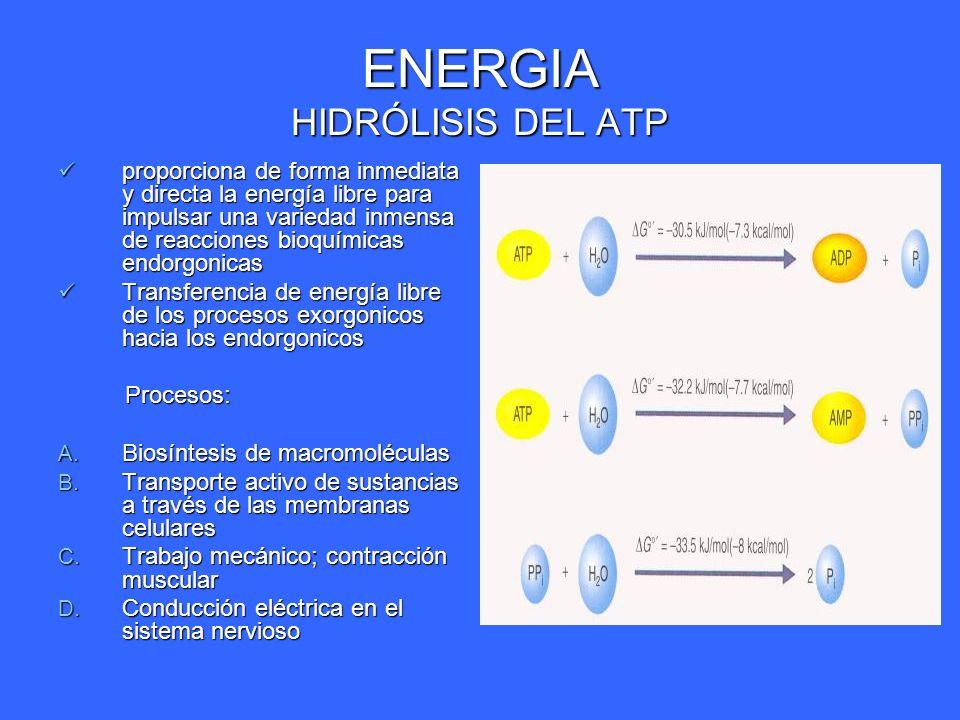 ENERGIA HIDRÓLISIS DEL ATP