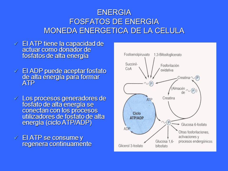 ENERGIA FOSFATOS DE ENERGIA MONEDA ENERGETICA DE LA CELULA