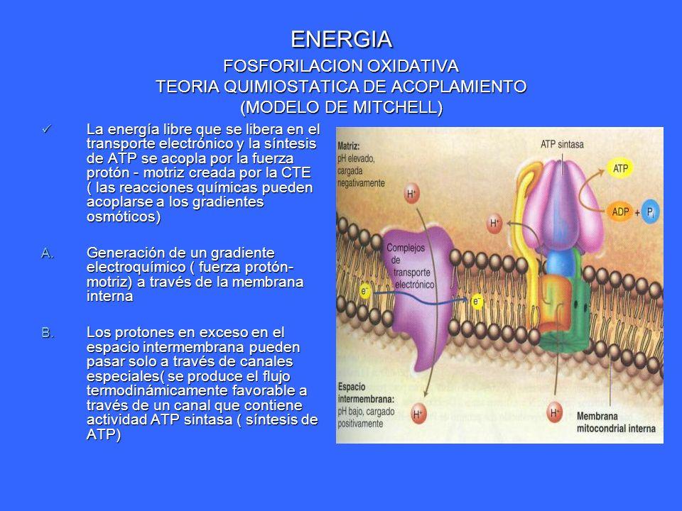 ENERGIA FOSFORILACION OXIDATIVA TEORIA QUIMIOSTATICA DE ACOPLAMIENTO (MODELO DE MITCHELL)