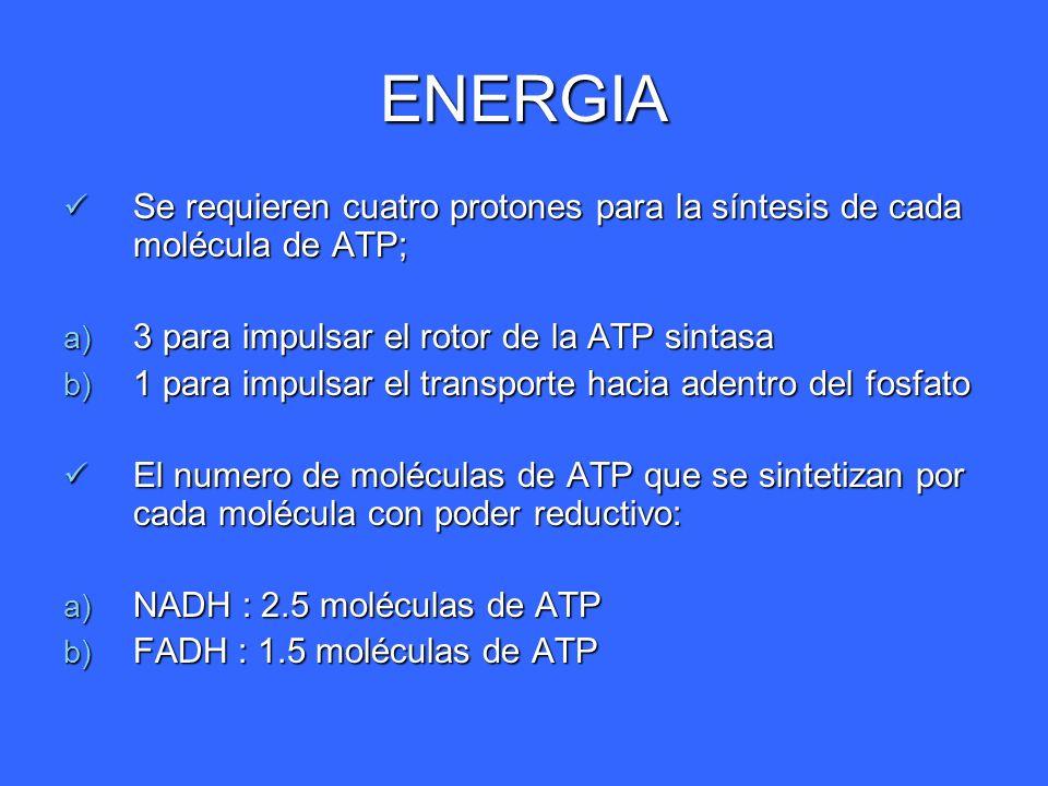 ENERGIA Se requieren cuatro protones para la síntesis de cada molécula de ATP; 3 para impulsar el rotor de la ATP sintasa.