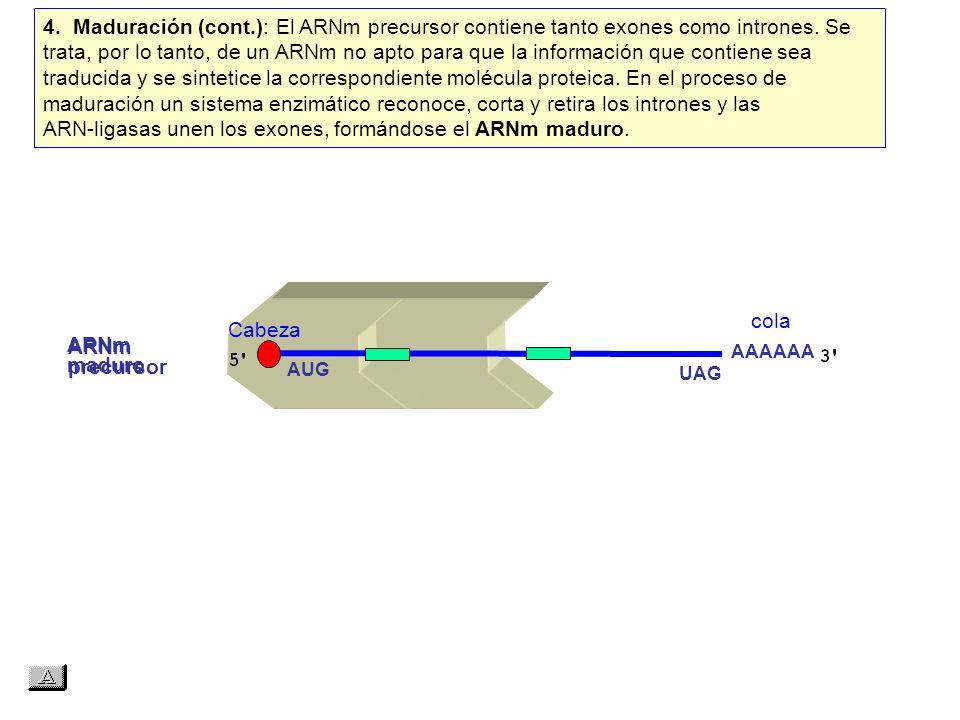4. Maduración (cont.): El ARNm precursor contiene tanto exones como intrones. Se trata, por lo tanto, de un ARNm no apto para que la información que contiene sea traducida y se sintetice la correspondiente molécula proteica. En el proceso de maduración un sistema enzimático reconoce, corta y retira los intrones y las ARN‑ligasas unen los exones, formándose el ARNm maduro.