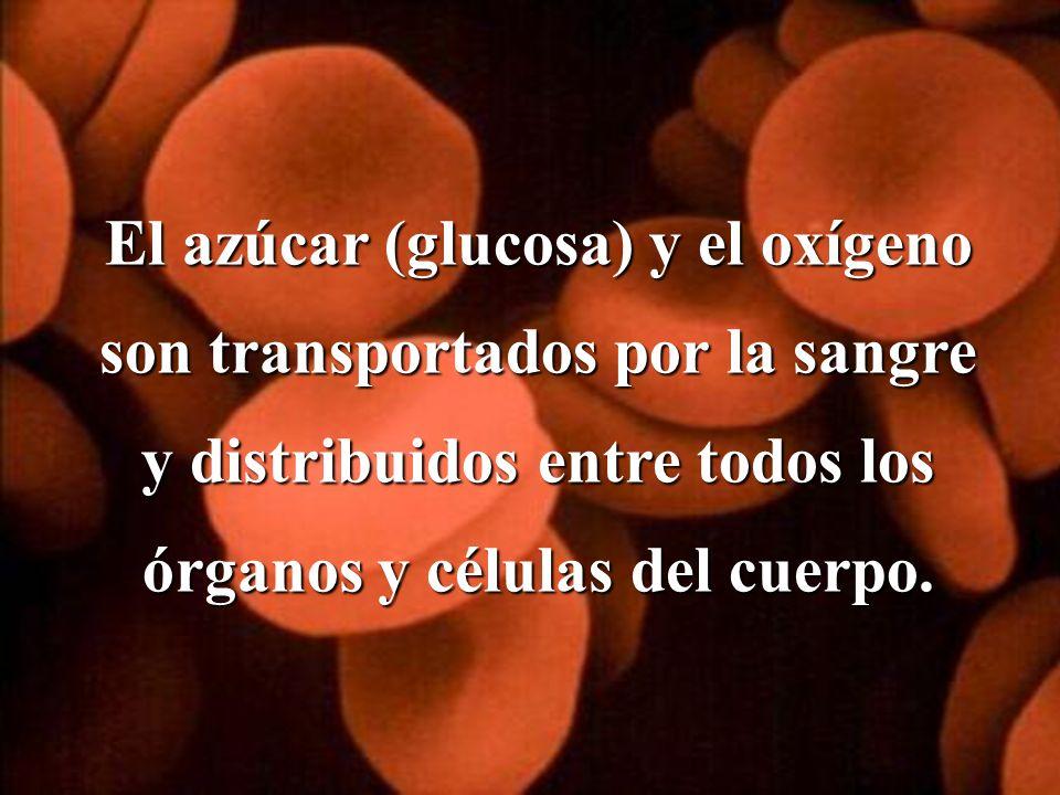 El azúcar (glucosa) y el oxígeno son transportados por la sangre y distribuidos entre todos los órganos y células del cuerpo.