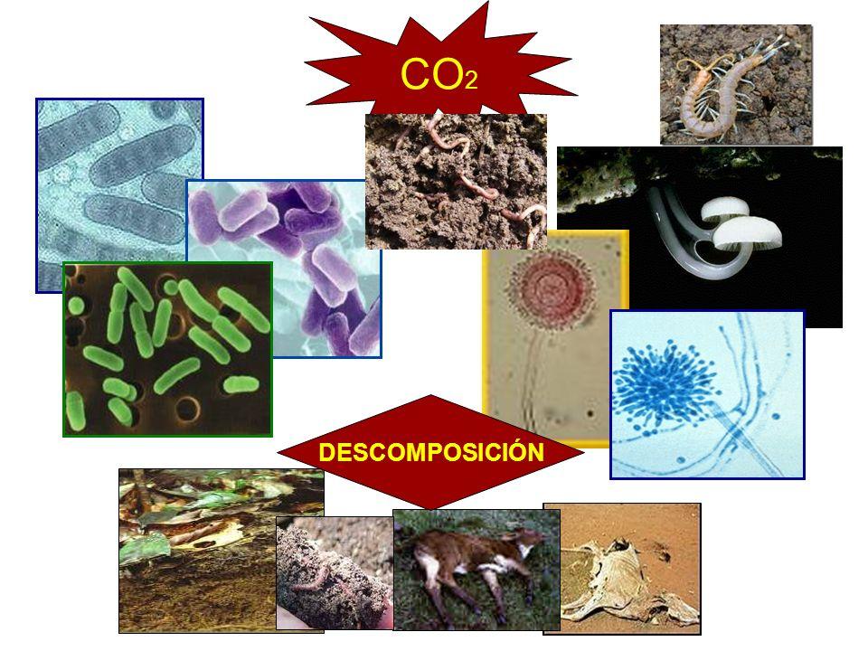 CO2 DESCOMPOSICIÓN Animal muerto Nube con co2 y flechas