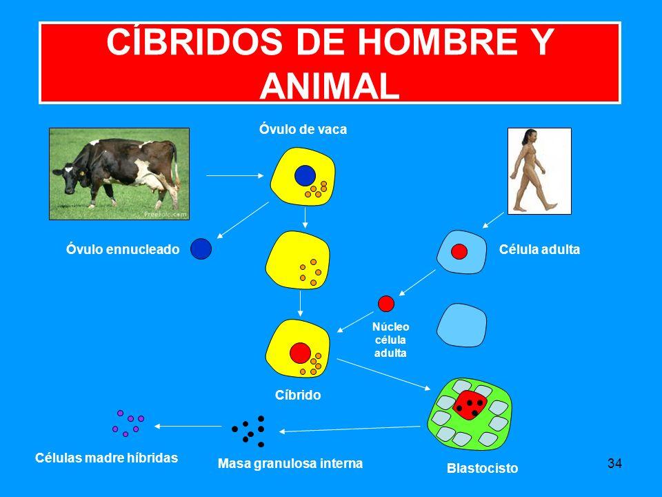 CÍBRIDOS DE HOMBRE Y ANIMAL