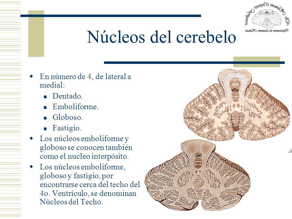 Núcleos del cerebelo En número de 4, de lateral a medial: Dentado.