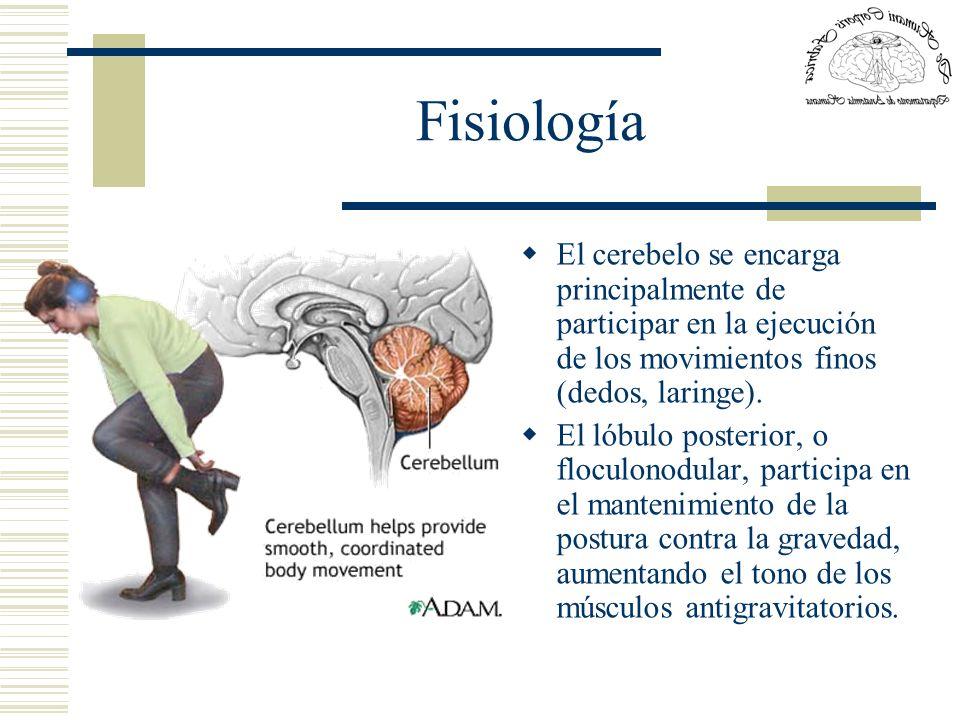 FisiologíaEl cerebelo se encarga principalmente de participar en la ejecución de los movimientos finos (dedos, laringe).