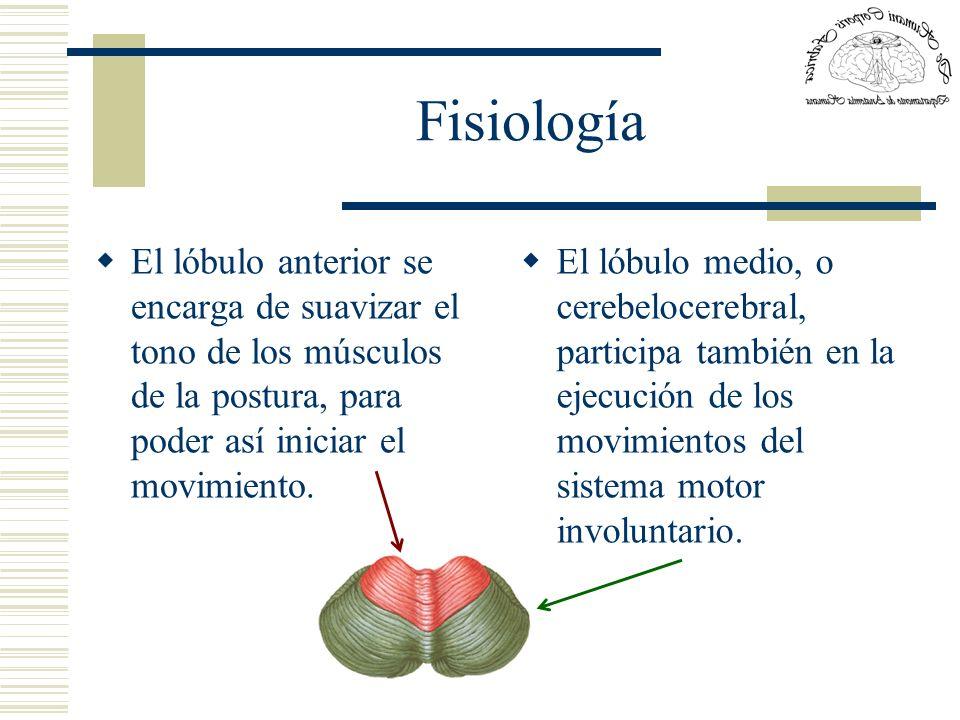 Fisiología El lóbulo anterior se encarga de suavizar el tono de los músculos de la postura, para poder así iniciar el movimiento.