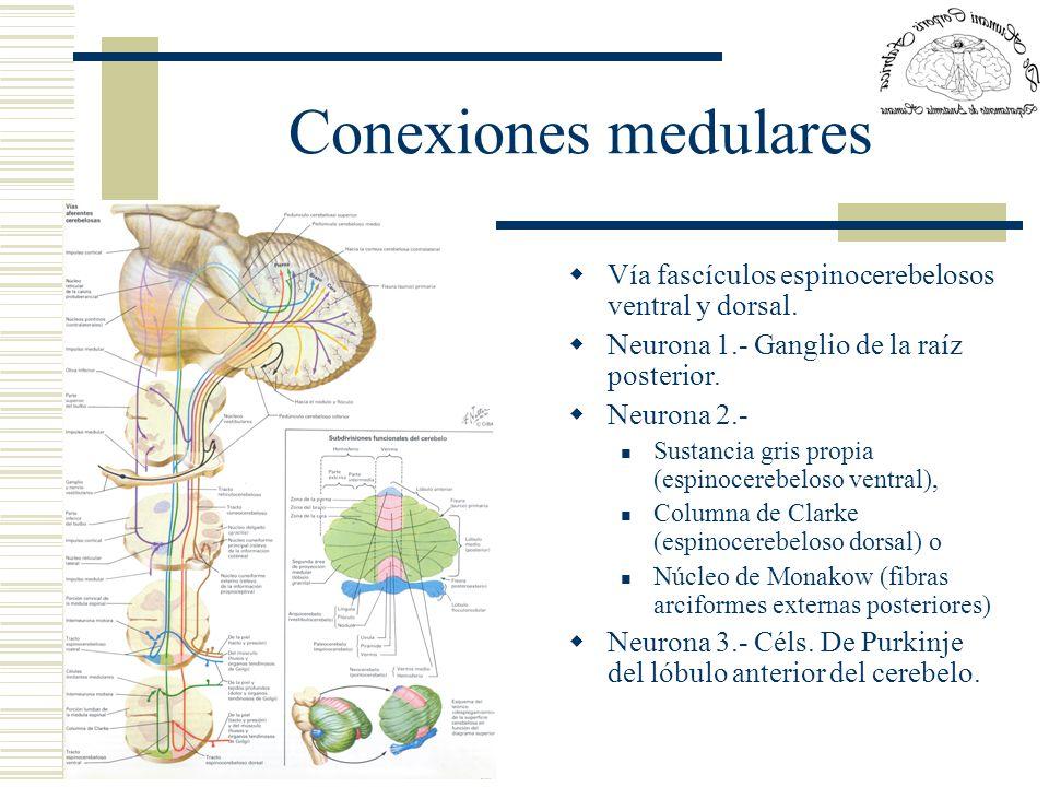 Conexiones medulares Vía fascículos espinocerebelosos ventral y dorsal. Neurona 1.- Ganglio de la raíz posterior.