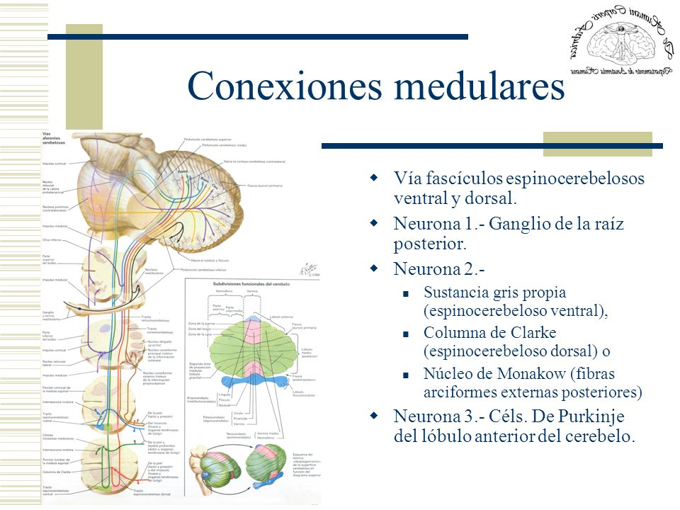 Conexiones medularesVía fascículos espinocerebelosos ventral y dorsal. Neurona 1.- Ganglio de la raíz posterior.