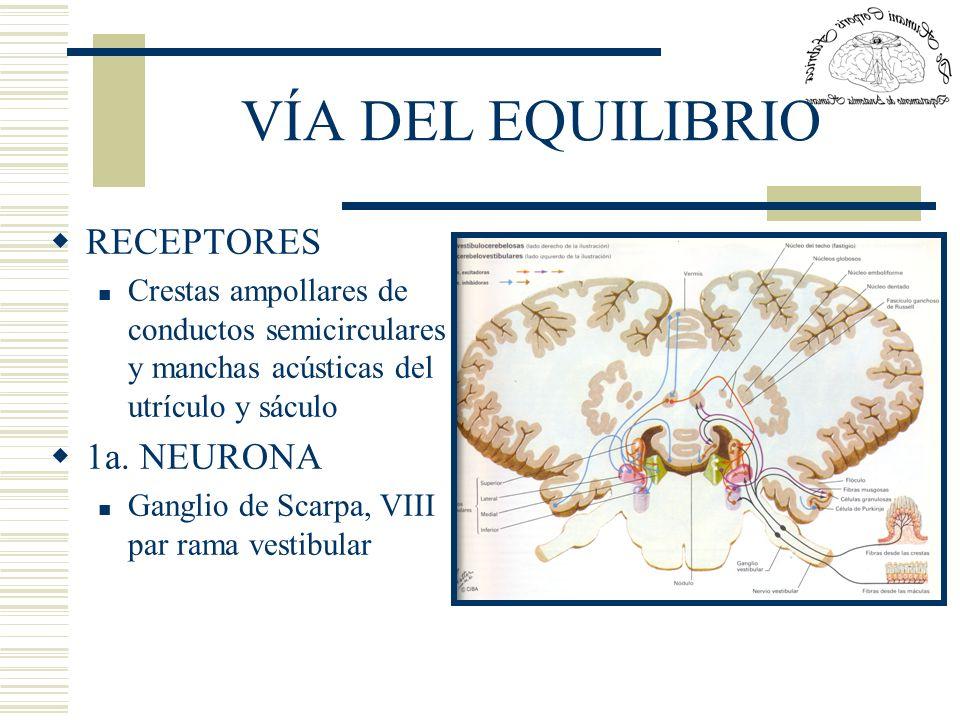 VÍA DEL EQUILIBRIO RECEPTORES 1a. NEURONA