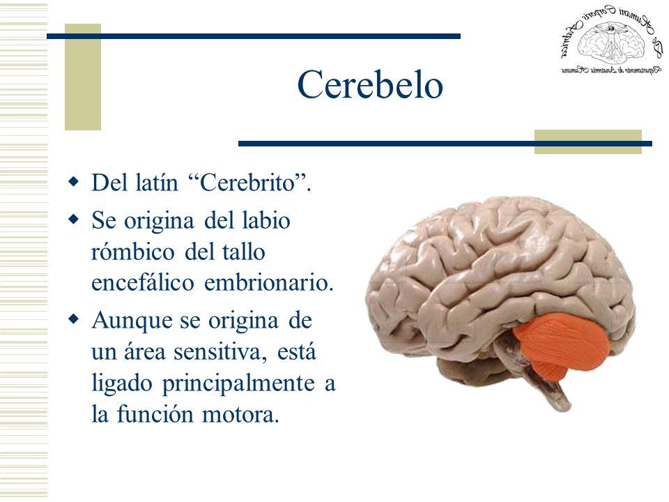 Cerebelo Del latín Cerebrito .