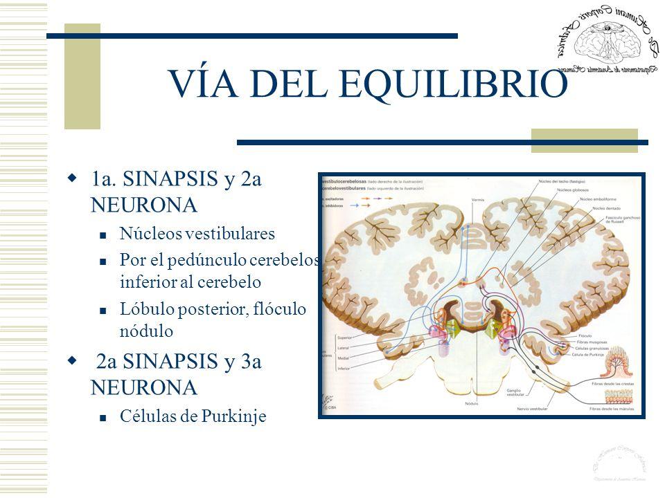 VÍA DEL EQUILIBRIO 1a. SINAPSIS y 2a NEURONA 2a SINAPSIS y 3a NEURONA