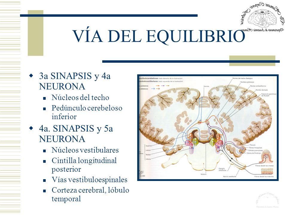 VÍA DEL EQUILIBRIO 3a SINAPSIS y 4a NEURONA 4a. SINAPSIS y 5a NEURONA