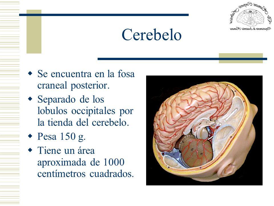 Cerebelo Se encuentra en la fosa craneal posterior.
