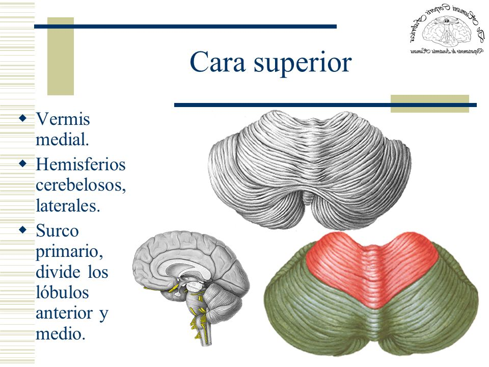 Cara superior Vermis medial. Hemisferios cerebelosos, laterales.