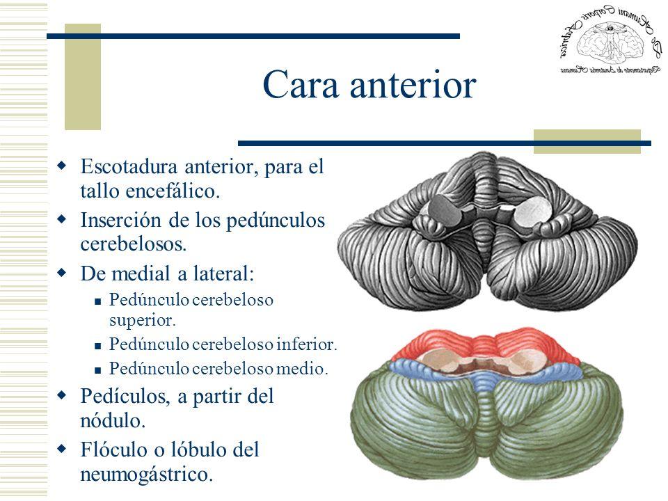 Cara anterior Escotadura anterior, para el tallo encefálico.