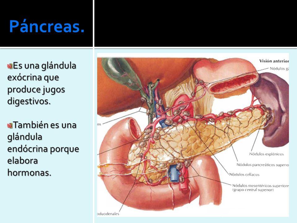 Páncreas. Es una glándula exócrina que produce jugos digestivos.