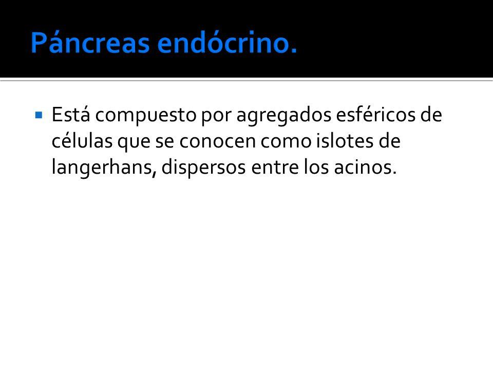 Páncreas endócrino.