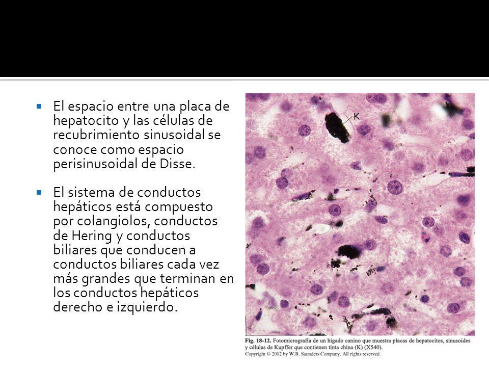 El espacio entre una placa de hepatocito y las células de recubrimiento sinusoidal se conoce como espacio perisinusoidal de Disse.