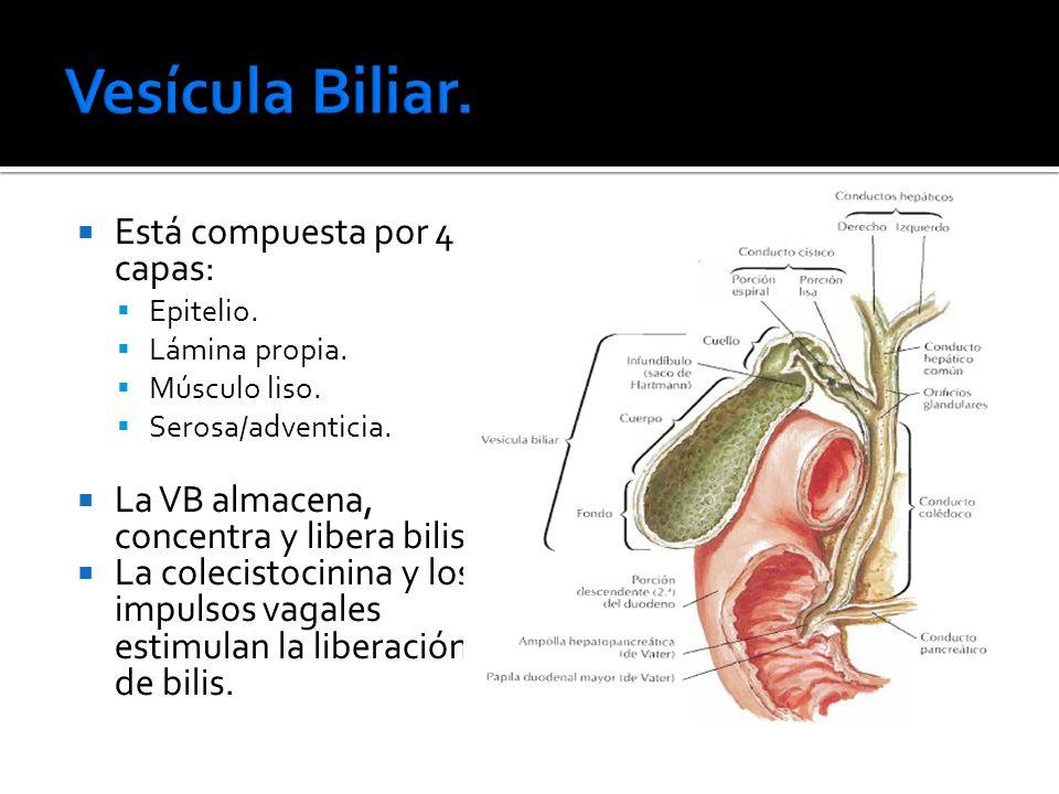 Vesícula Biliar. Está compuesta por 4 capas: