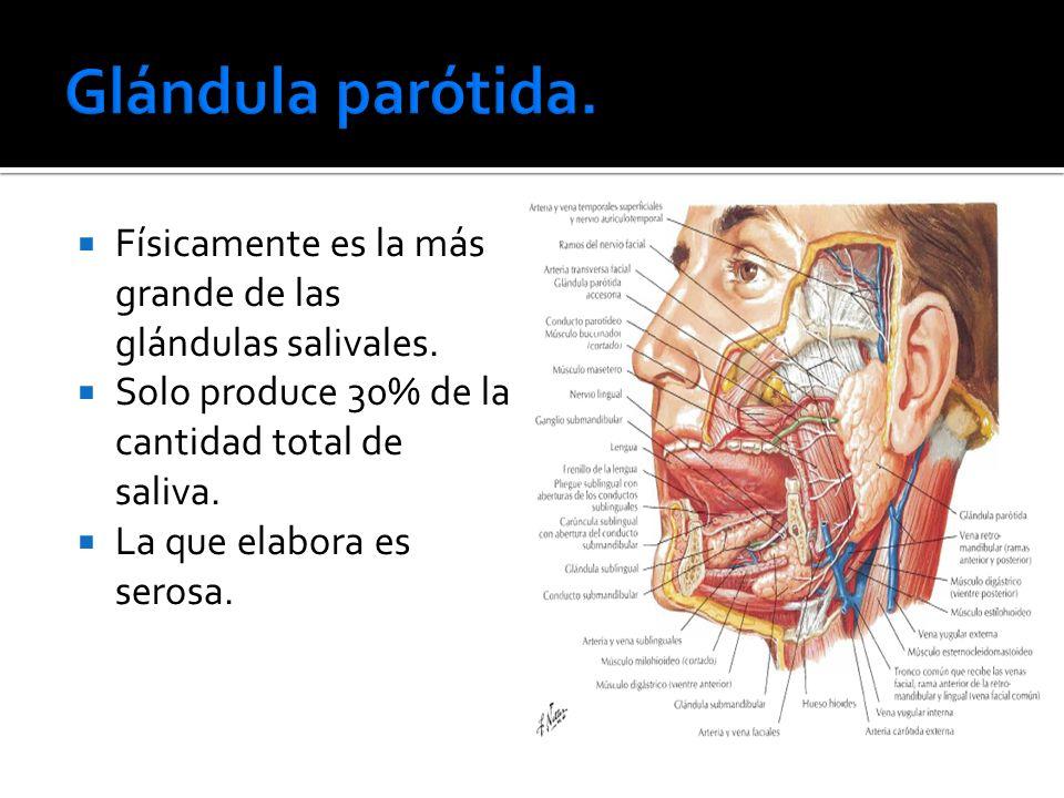 Glándula parótida. Físicamente es la más grande de las glándulas salivales. Solo produce 30% de la cantidad total de saliva.