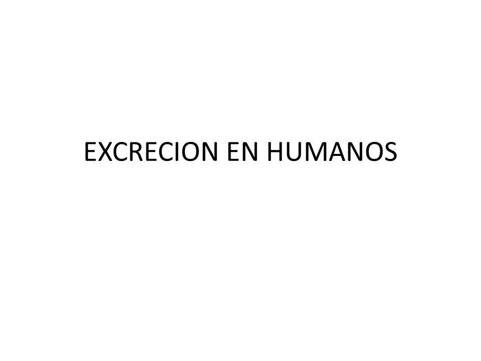 EXCRECION EN HUMANOS