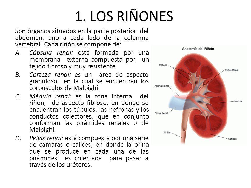 1. LOS RIÑONES Son órganos situados en la parte posterior del abdomen, uno a cada lado de la columna vertebral. Cada riñón se compone de: