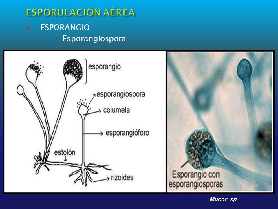 ESPORULACIÓN AÉREA ESPORANGIO - Esporangiospora Mucor sp.