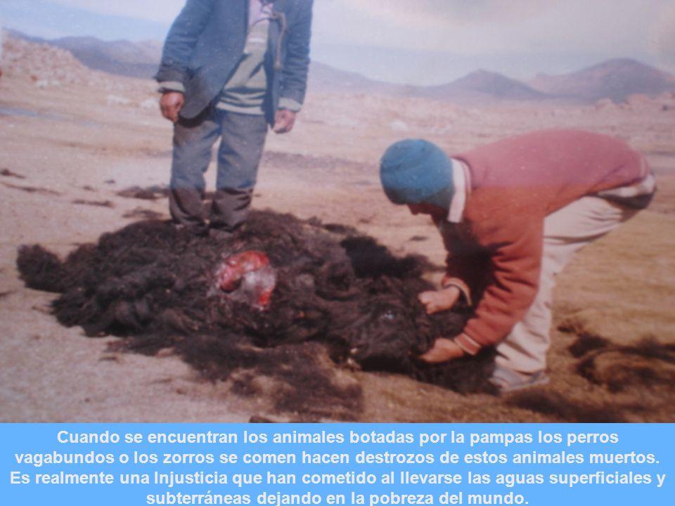 Cuando se encuentran los animales botadas por la pampas los perros vagabundos o los zorros se comen hacen destrozos de estos animales muertos.