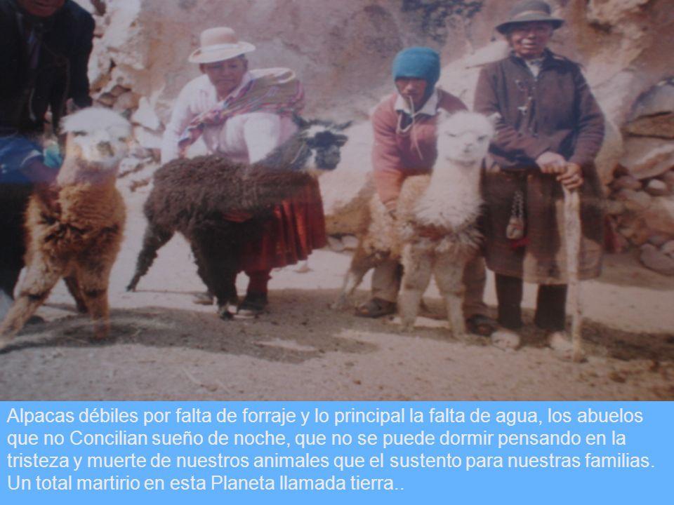 Alpacas débiles por falta de forraje y lo principal la falta de agua, los abuelos que no Concilian sueño de noche, que no se puede dormir pensando en la tristeza y muerte de nuestros animales que el sustento para nuestras familias.