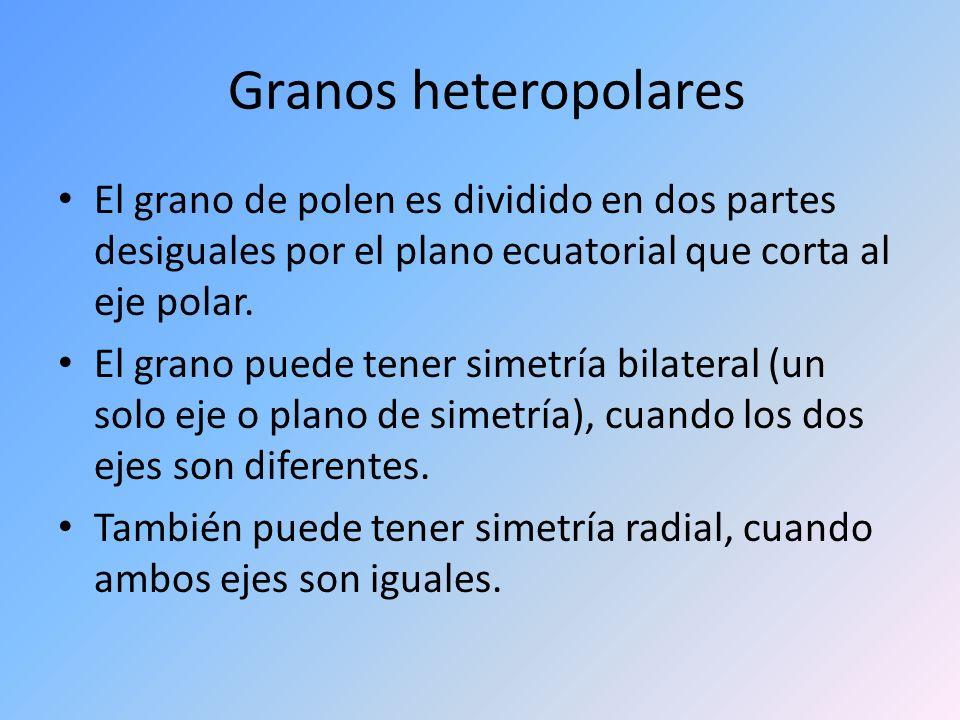 Granos heteropolares El grano de polen es dividido en dos partes desiguales por el plano ecuatorial que corta al eje polar.
