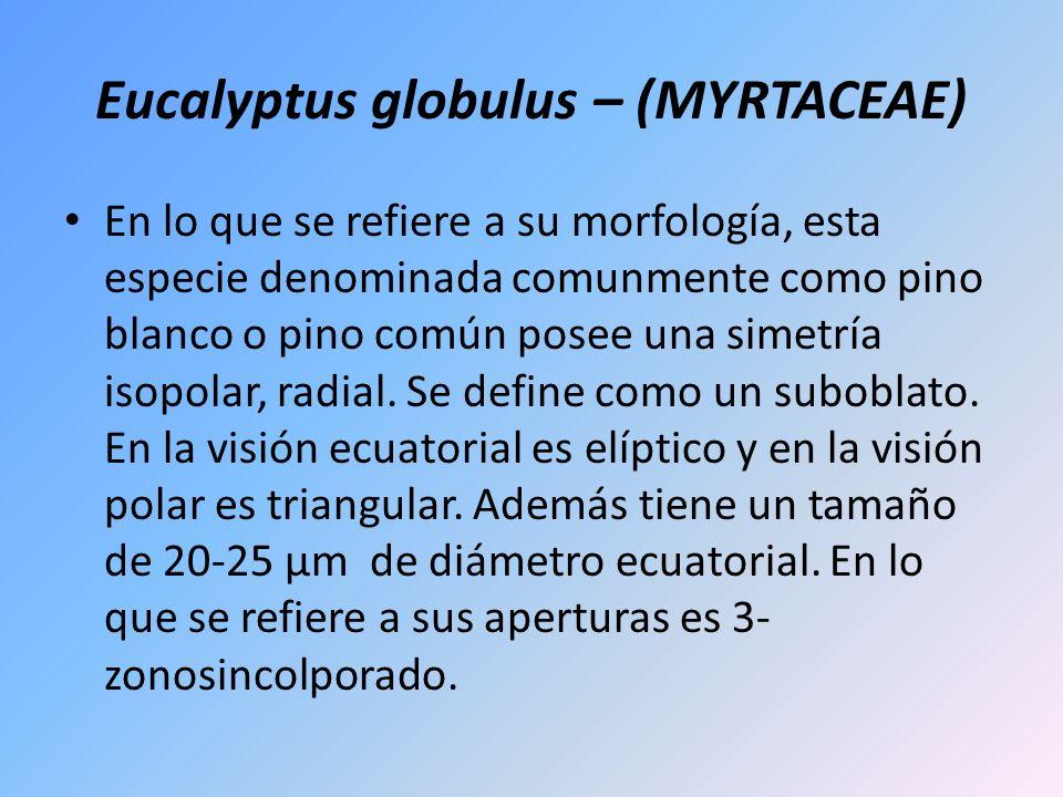 Eucalyptus globulus – (MYRTACEAE)