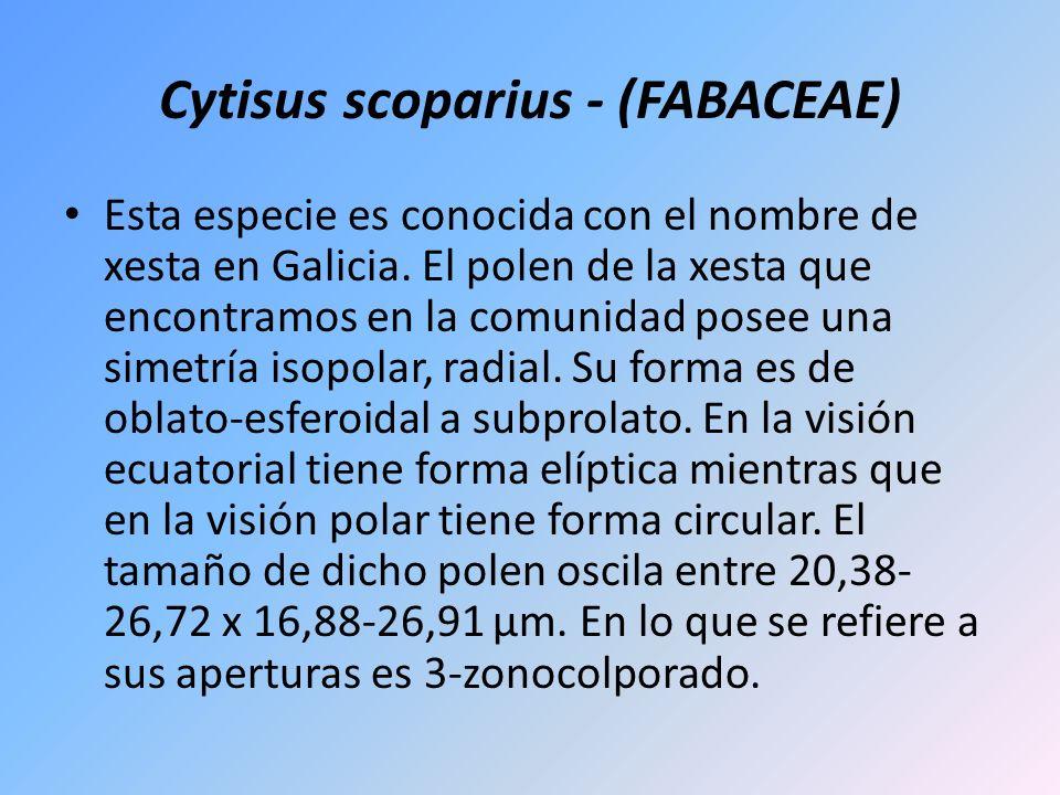 Cytisus scoparius - (FABACEAE)