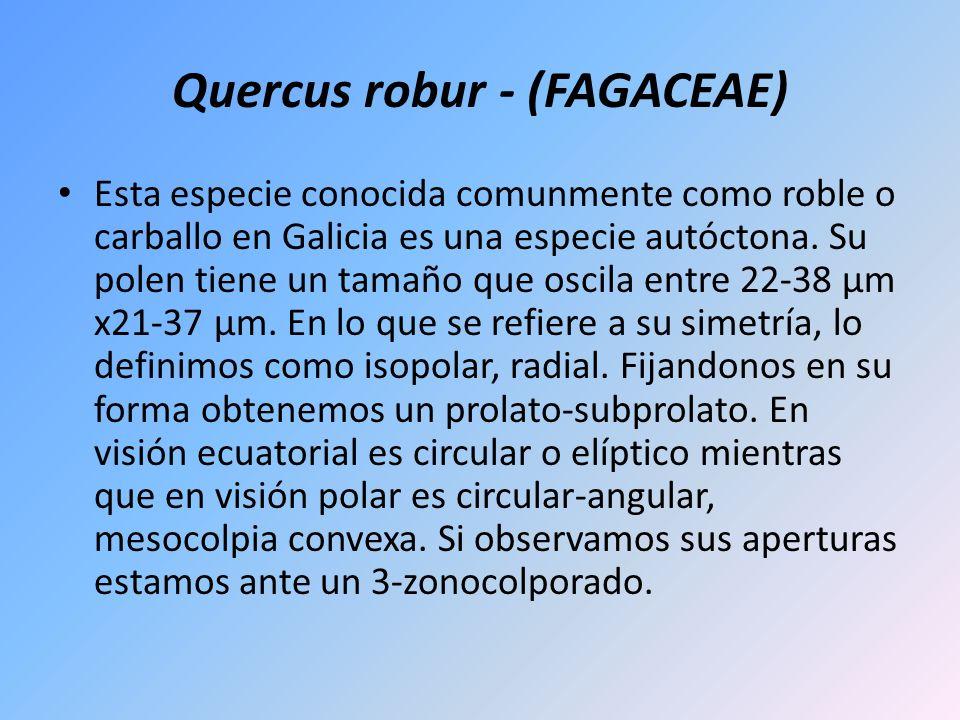 Quercus robur - (FAGACEAE)