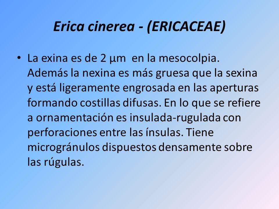 Erica cinerea - (ERICACEAE)