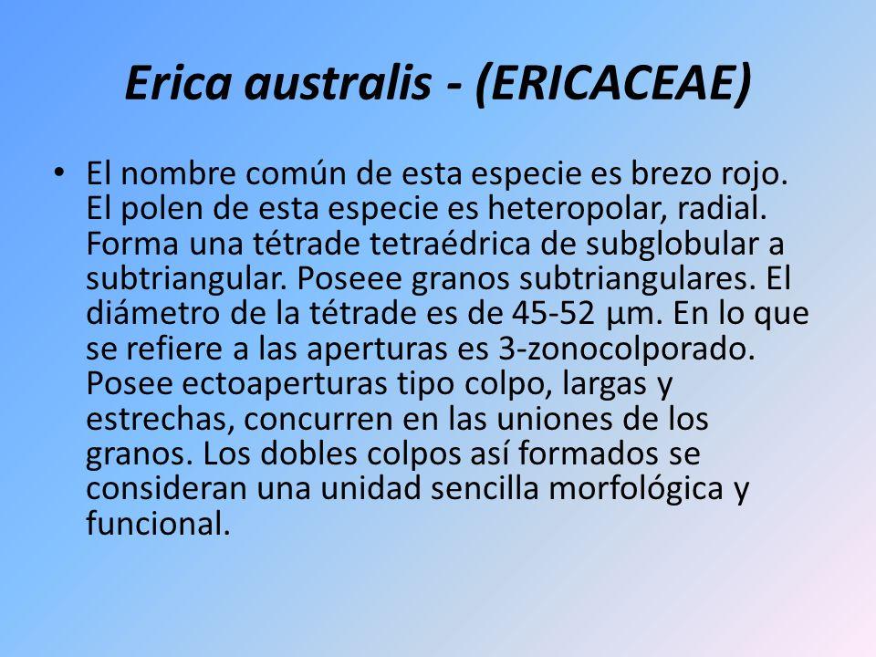 Erica australis - (ERICACEAE)