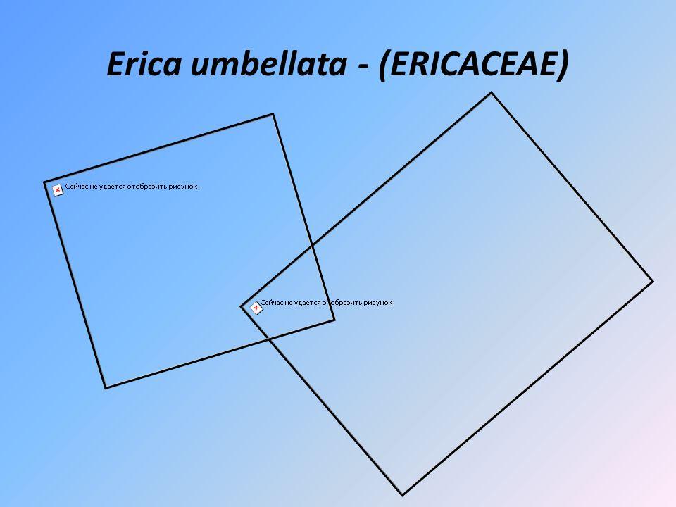 Erica umbellata - (ERICACEAE)