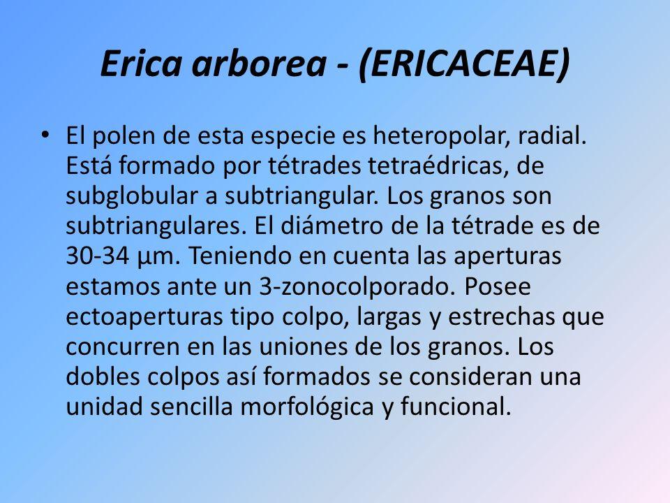 Erica arborea - (ERICACEAE)
