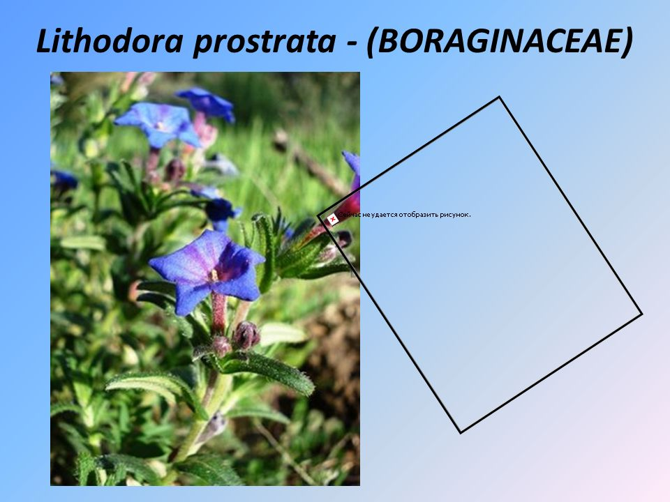 Lithodora prostrata - (BORAGINACEAE)