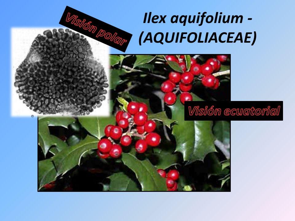 Ilex aquifolium - (AQUIFOLIACEAE)