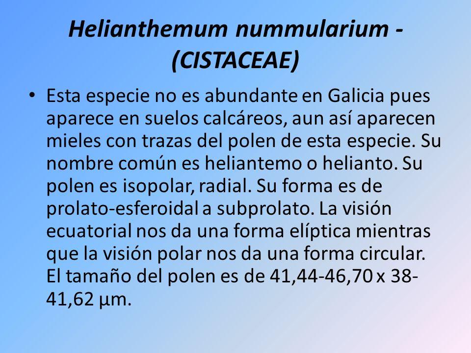 Helianthemum nummularium - (CISTACEAE)