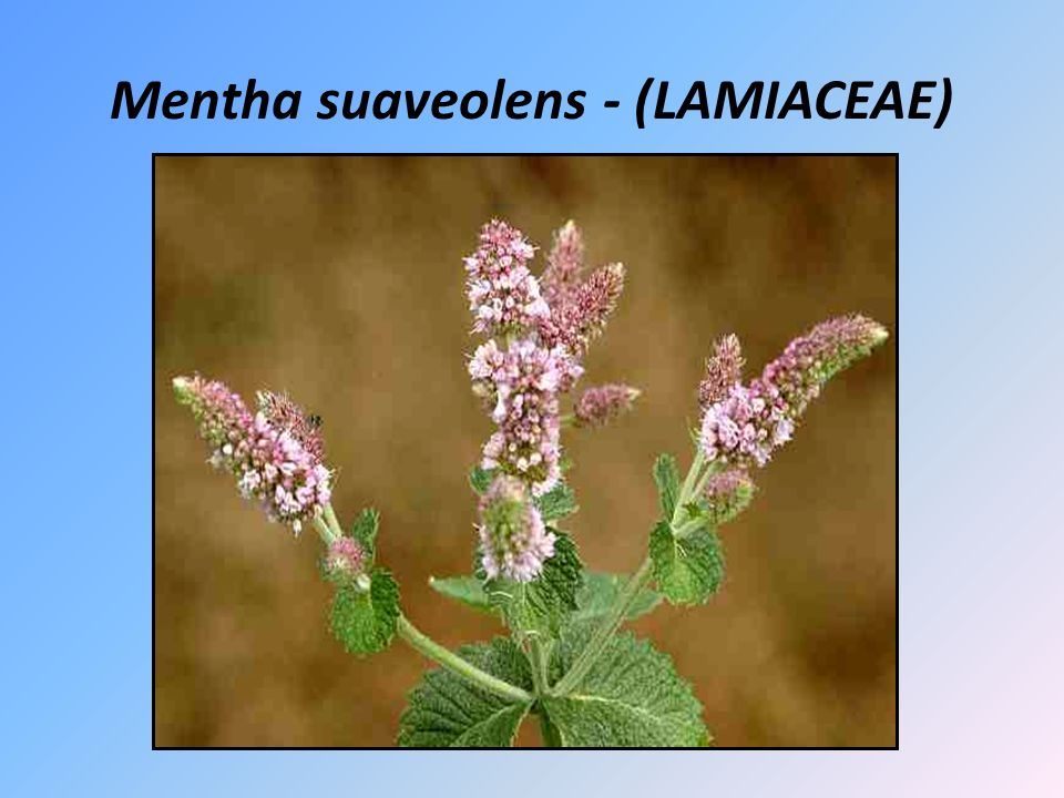 Mentha suaveolens - (LAMIACEAE)